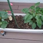 プランターで育てるバジル、ミニトマトなど、ウッドデッキで家庭菜園!と芝の成長の様子